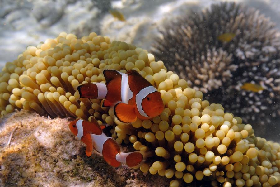 Foto pesci pagliaccio amphiprion e damigella a