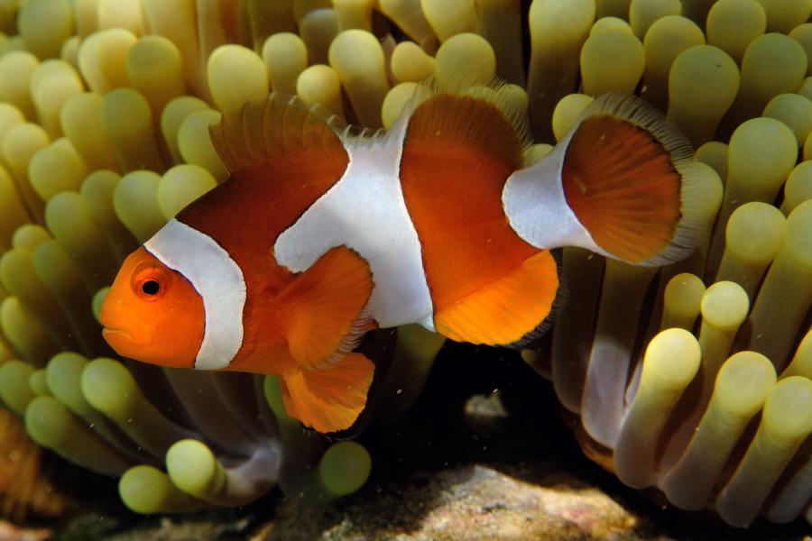Foto pesci pagliaccio amphiprion e pesci damigella a for Immagini pesce pagliaccio