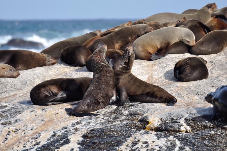 Risultati immagini per isola delle foche sudafrica