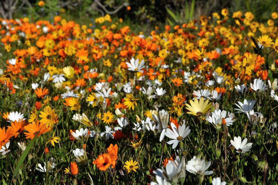 La fioritura del deserto in Sud Africa - tour da Lamberts Bay a ...