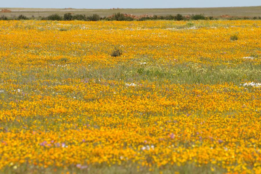 Tour botanico in Namaqualand per la fioritura nel deserto. Foto di ...