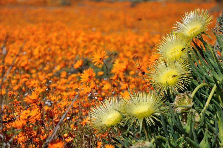 Viaggio in Namaqualand (Sud Africa) con tour delle fioriture nel deserto al Namaqua national ...