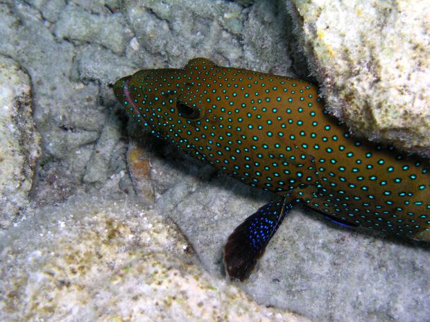 Snorkeling nella laguna di thudufushi atollo di ari - Pagina colorazione pavone ...