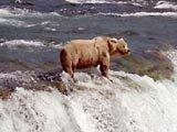 Orso bruno al parco Katmai, Alaska