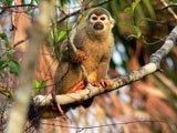 Scimmia nella foresta amazzonica, Ecuador