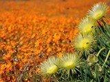 Il deserto in fiore nel Namaqualand