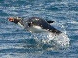 Pinguino crestato isole Snares