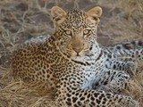 Leopardo al Serengeti