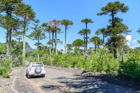 Il parco nazionale conguillio in cile foto e informazioni for Cabine della foresta lacustre