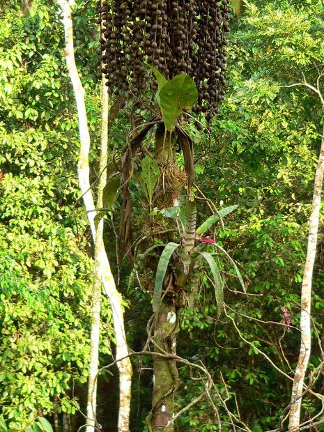Piante Di Cacao : Alberi fiori e funghi nella foresta amazzonica in ecuador