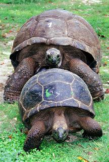 Bird island le tartarughe terrestri e la grande colonia for Accoppiamento tartarughe